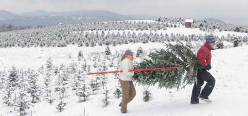 Harvest your own Tree. Tree Harvesting Visit one of the NH Christmas Tree  Farms ... - New Hampshire Christmas Trees